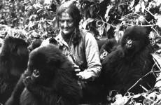 Fotó: Dian Fossey hegyi gorillákkal a Virunga-hegységben, Ruanda, 1982, AP
