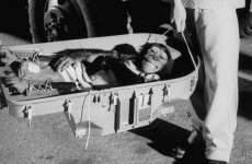 Fotó: Ham the astrochimp after his historic 1961 suborbital flight. Ralph Morse—The LIFE Picture Collection/Getty Images