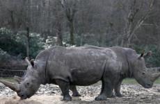 Fotó: Christian Hartmann: A Thoiry Állatkert két fehér rinocérosza; Bruno és Gracie, Párizs, 2017. március 07. © Christian Hartmann/Reuters